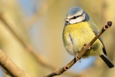Image of blue tit bird